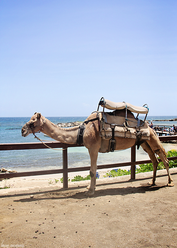 Camels in Jamaica?!